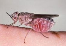 فك شفرة ذبابة مرض النوم القاتل