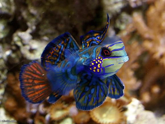 سمكة الماندرين الزرقاء