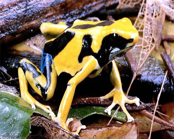 أخطر 10 مخلوقات في العالم -الضفدع السام ذو السهم Poison Dart Frog