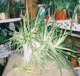 Aloe Vera Plant Flopped Over