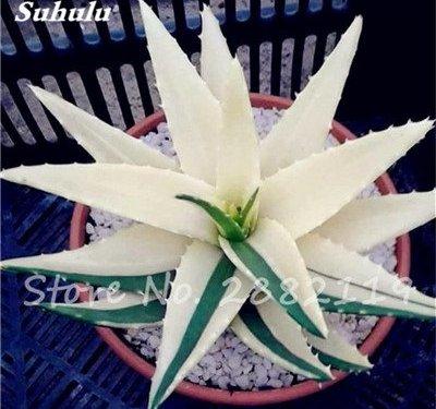 50 PC Aloe Vera comestibles coloridas Semillas Semillas de belleza cosmética Bonsai Cactus Suculentas plantas florecen Frutas Hortalizas para el balcón 17