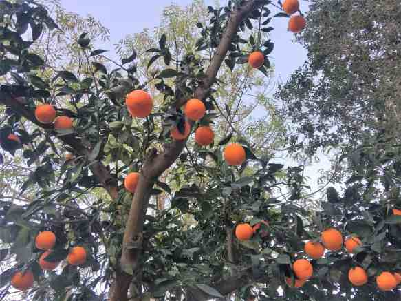 Ripe Oranges - they turned out so juicy and sweet