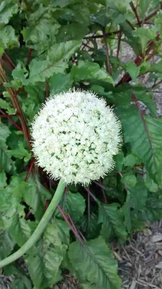 This is the flower of the onion - it's a whole ball of individual flowers, and each flower has little black onion seeds inside of it