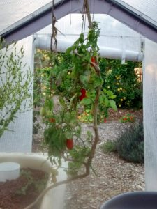 This tomato vine has been living in the aquaponic greenhouse for a couple years. It's scraggly, but still hanging on!