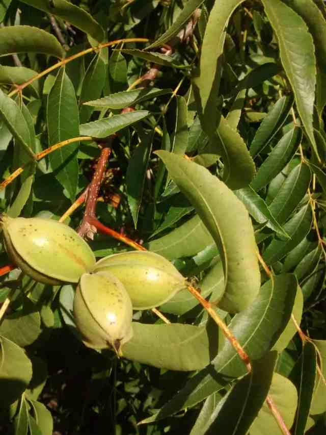 Here's what pecan fruit looks like when growing on the tree