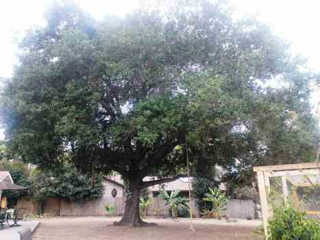Aloha Farms food forest - over 100 year-old Oak Tree - Grew from Seed!