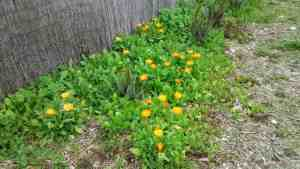 An abundance of calendula flowers growing from seed scattered around the forest floor