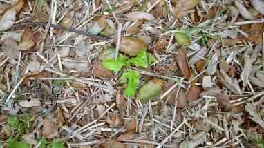 Leaf lettuce growing from seed that was tossed out over the mulch on the forest floor