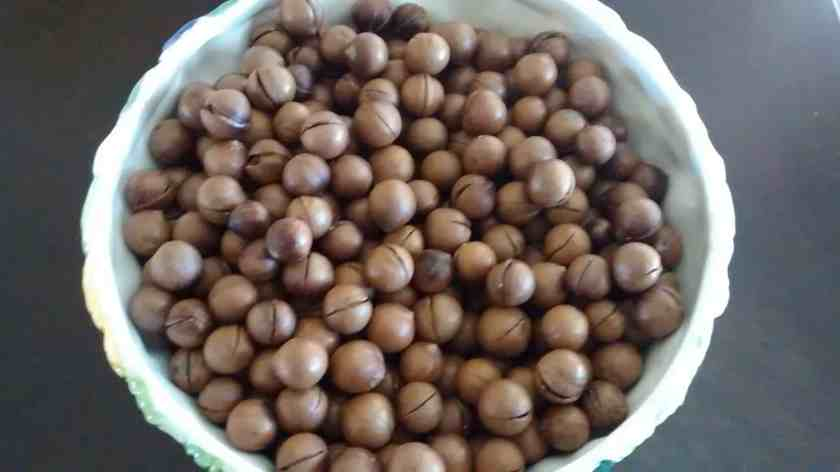 Aloha Farms food forest Macadamia nuts in Shell - This crop has thin shells and are coming off the tree already split
