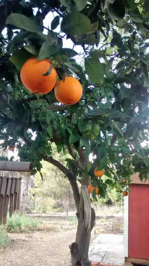Aloha Farms Navel Orange Tree in February 2017