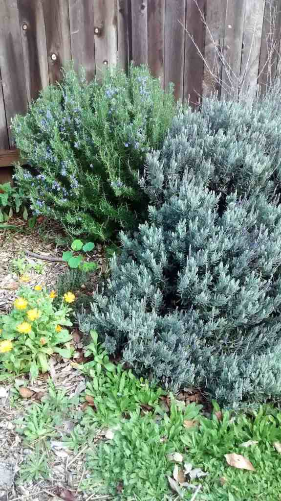 Aloha Farms food forest Rosemary and Lavender - Some of the many herbs growing in February 2017