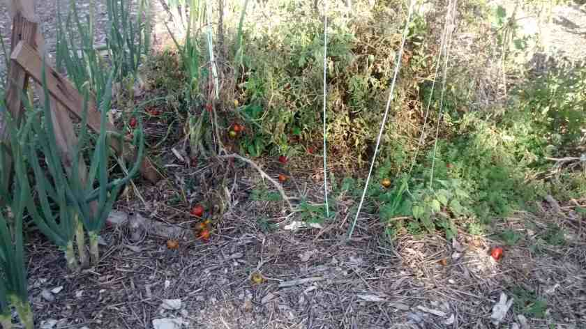 Aloha Farms food forest tomatoes still ripening in February 2017