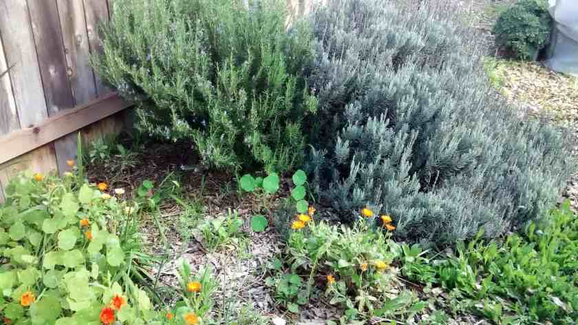 Aloha Farms Food Forest Lavender and Rosemary Winter 2017