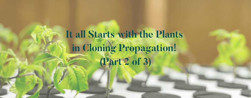 It all Starts with the Plants in Cloning Propagation! (Part 2 of 3)