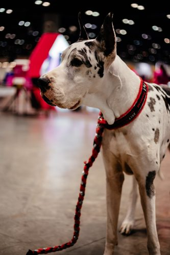 A recap of my weekend in Orlando for the Royal Canin AKC National Championship dog show which left my puppy fever at an all time high.