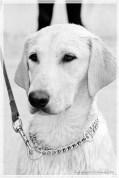 Jessie - Labrador femelle