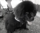 Athos Terre-Neuve mâle noir