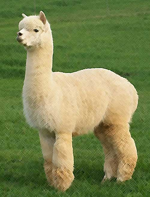 esempio di alpaca huacaya