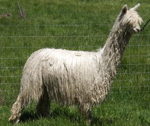 esempio di alpaca suri
