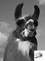 profilo Lama