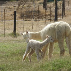 Alpaca female with cria
