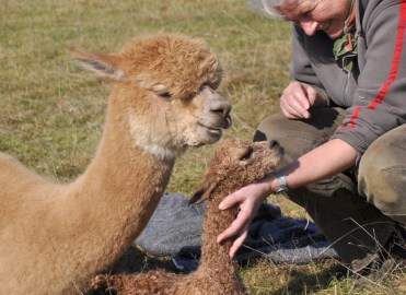Alpakas des Westens/ADW Gold Star, gerade geboren