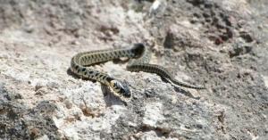 Το κυπριακό θαλάσσιο φίδι βρέθηκε στο Εθνικό Δασικό Πάρκο Macheira