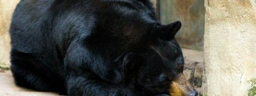 sleeping_black_bear