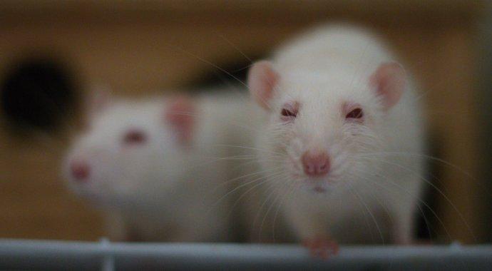 lab_rats