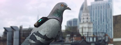 pigeon_backpack_to_measure_london_air_pollution