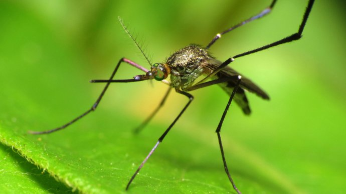 crispr_mosquito_gender