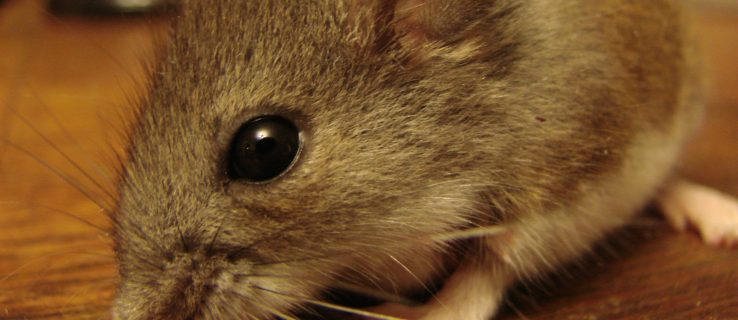 Mouse anti-aging drug to undergo its first human trials