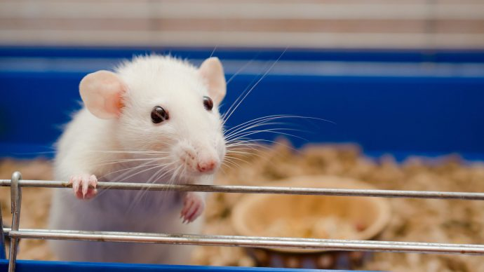 lab_mice_platelets_lungs