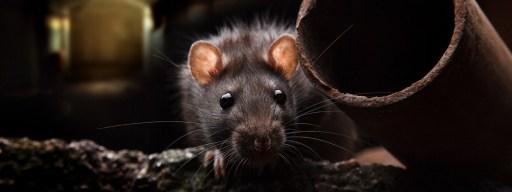 black_death_rats