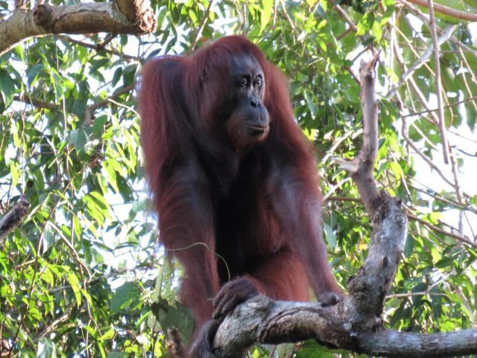 orangutan_borneo_population