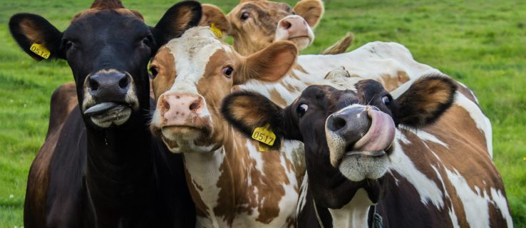 Cows could be the biggest mammal left thanks to hominins' love of hunting