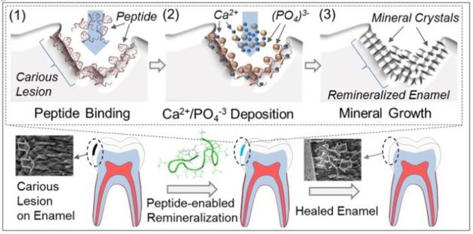 tooth_peptides_growing