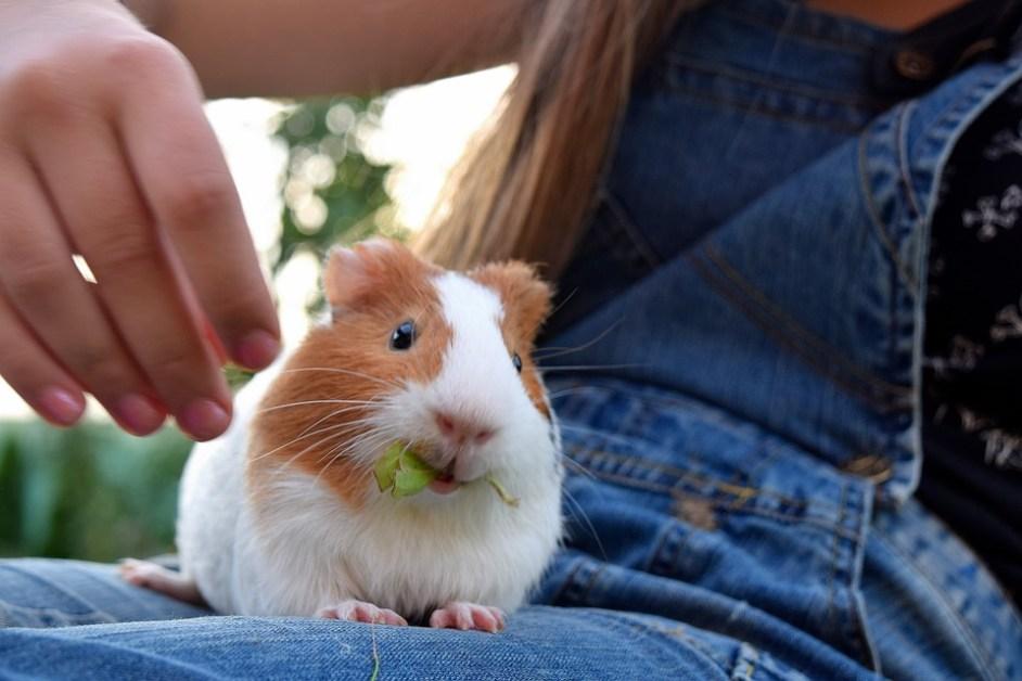 guinea pig owner