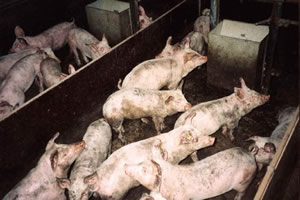 Schweinefleisch und Gesundheit