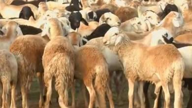 ماشية السودان