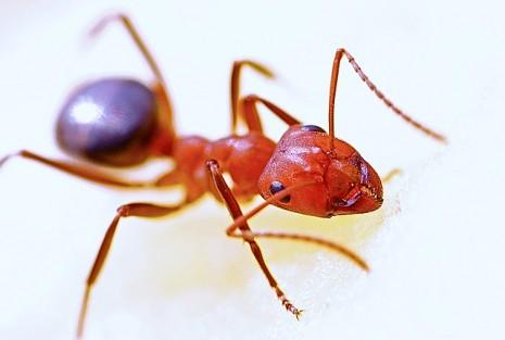 تفسير رؤية النمل الاحمر في حلم المنام أو النمل الاحمر الكبير