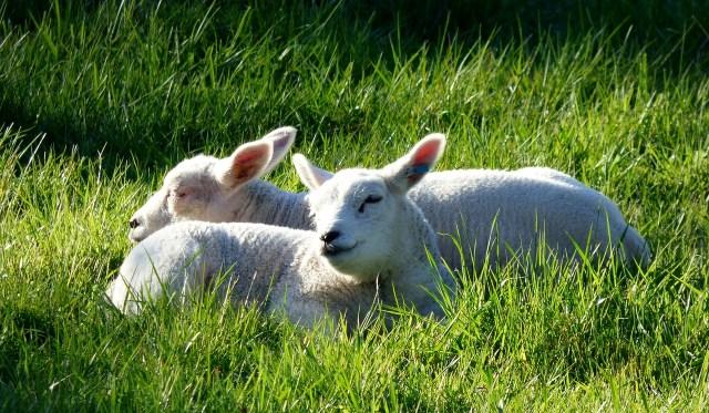 lambs-502572_1280