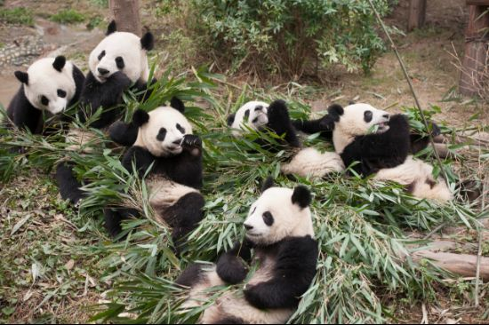 Pandas, A new story