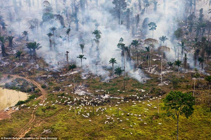 Cabras fogem durante fogo na Amazónia