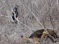 Cadaver dogs searching for bodies