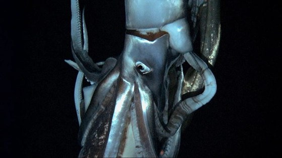 Giant squid caught on film by Japanese scientists