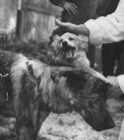 Vladimir Demikhov's two-headed dog creation shortly after surgery