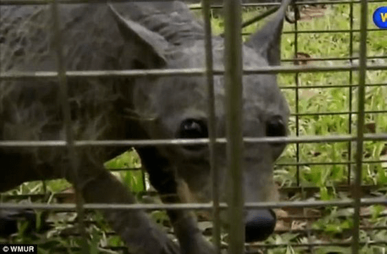 Did this Texas family just capture a live Chupacabra?