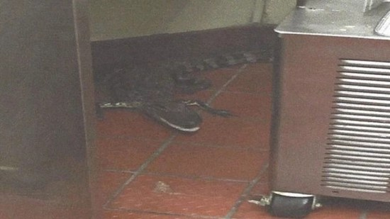 Florida man reaps multiple charges after tossing a live alligator thru Wendy's drive-thru window