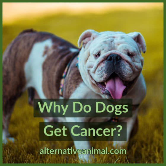 why dogs get cancer